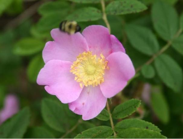 Prickly Wild Rose
