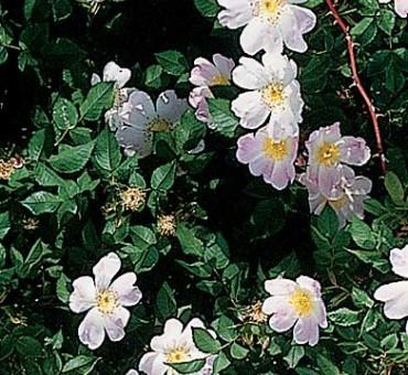 Wild Thang Rose