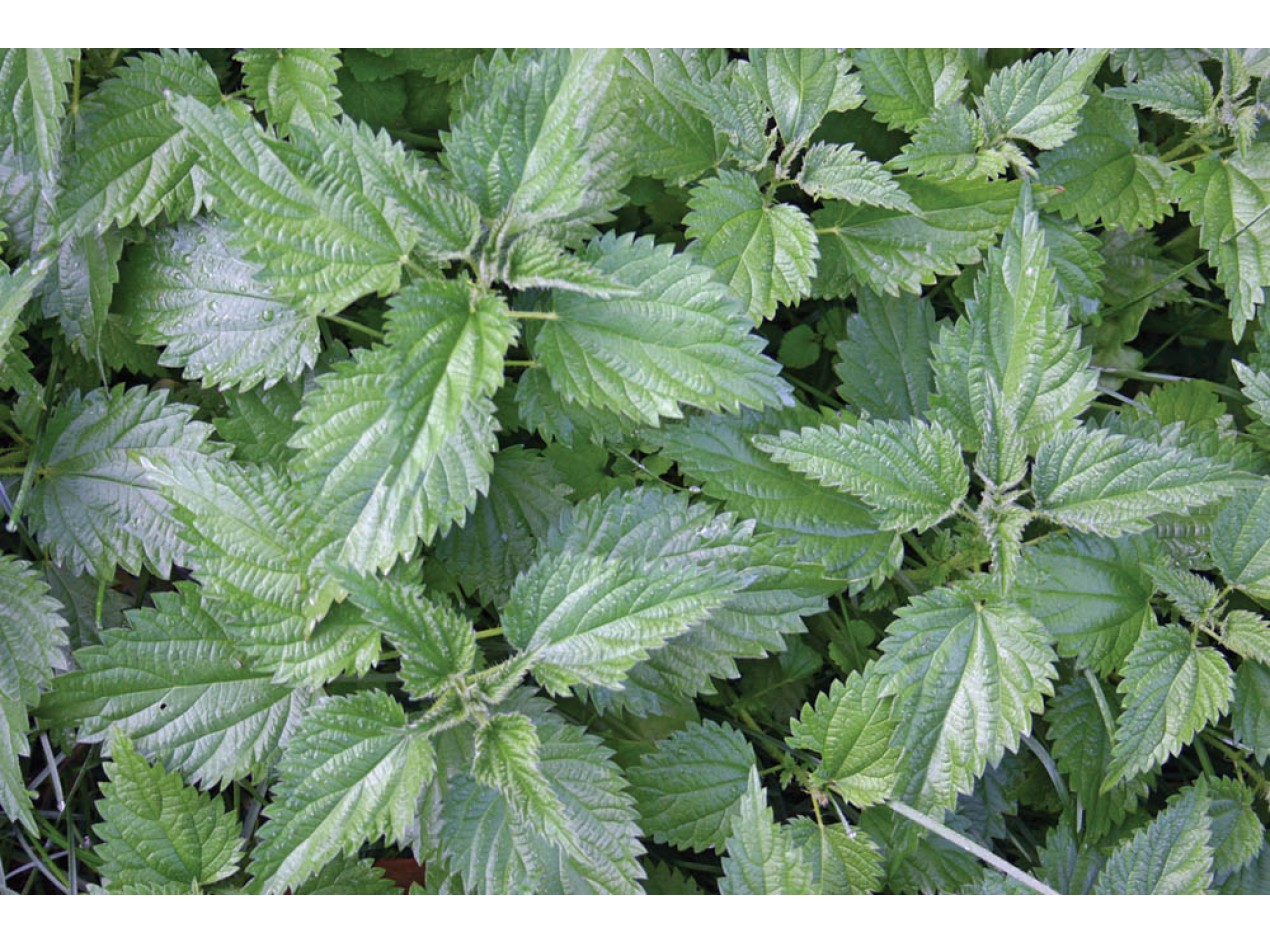 Big Leaf Cultivated Stinging Nettle