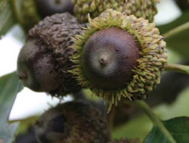 Schubur Oak