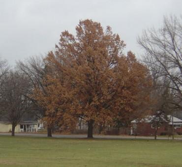 Sauls Oak