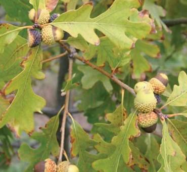 Lint White Oak