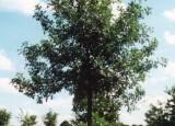 Ashworth Bur Oak