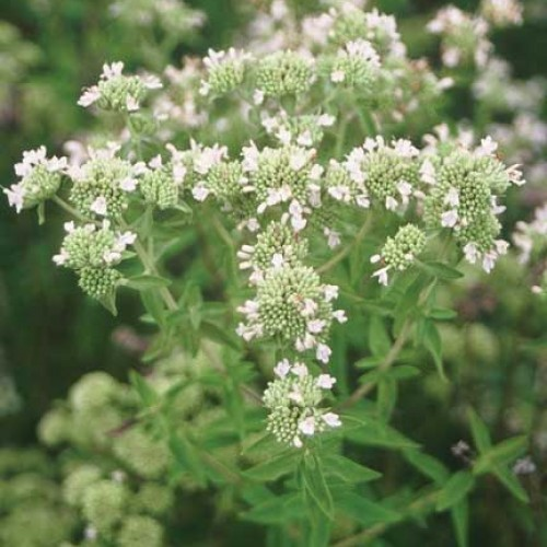 how to grow mountain mint from seed