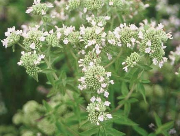 Narrowleaf Virginia Mountainmint