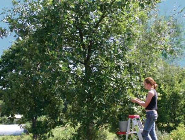 'Sweet It Is' Bebbs Oak