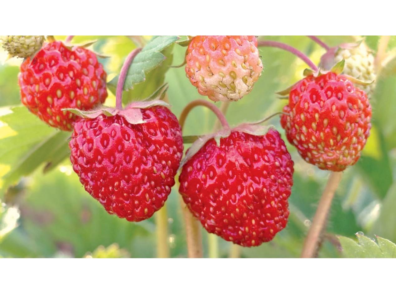 Northern Star Strawberry