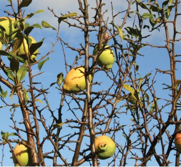 Cathay Quince