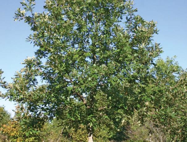 Burlive Oak