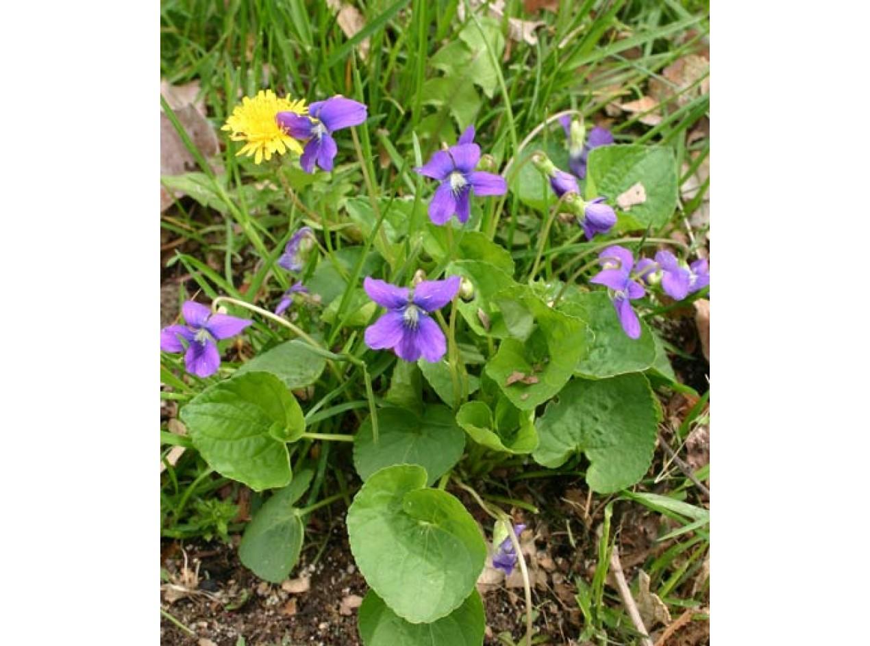 'Edible Blue' Wild Violet
