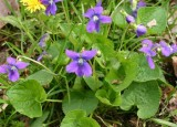 'Edible Blue' Wild Violet