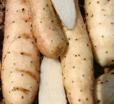 Chinese Mountain Yam