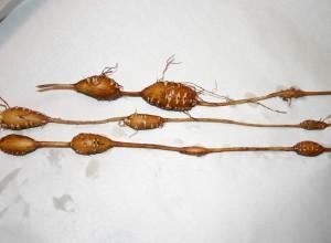 Densituberous Groundnut