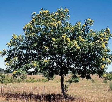 European Hybrid Chestnut
