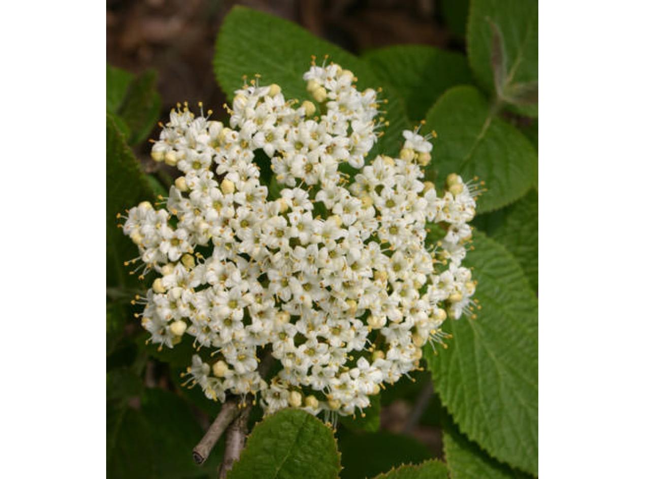 Spice Viburnum