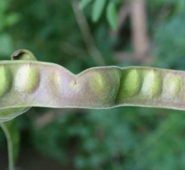 Wild Honeylocust