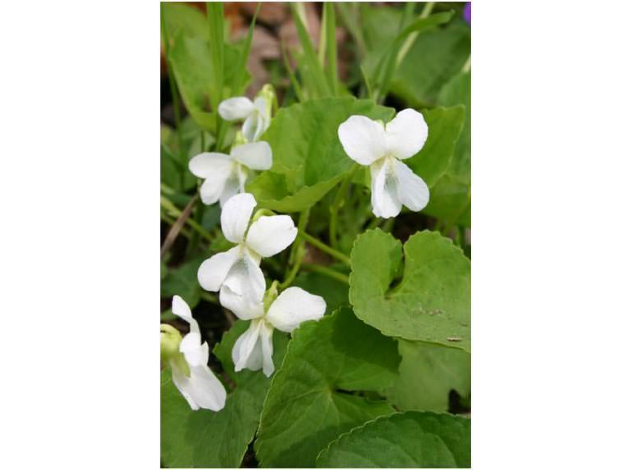 'Edible White' Wild Violet
