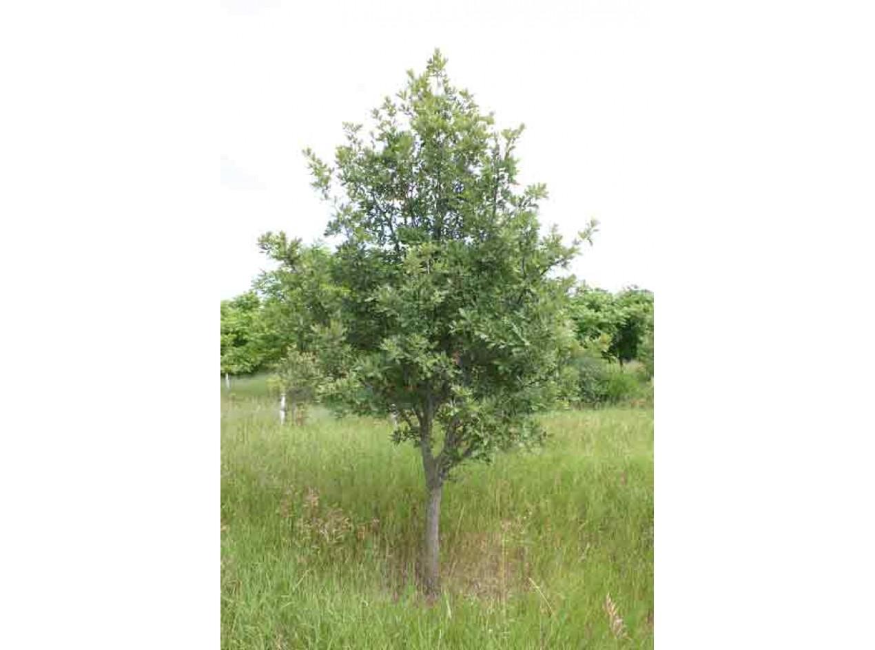 Northern Live Oak