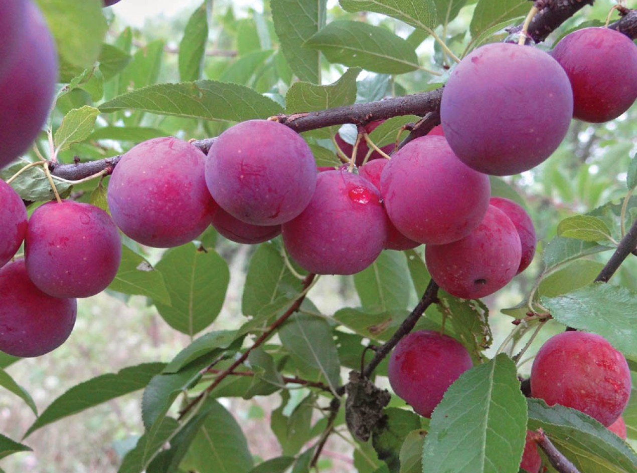 Two Trees Wild Goose Plums