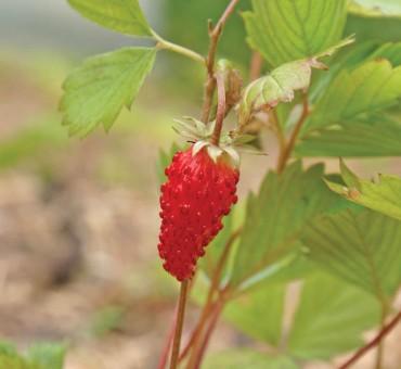 Red Wonder Strawberry