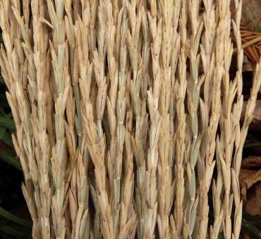 Perennial Wheat