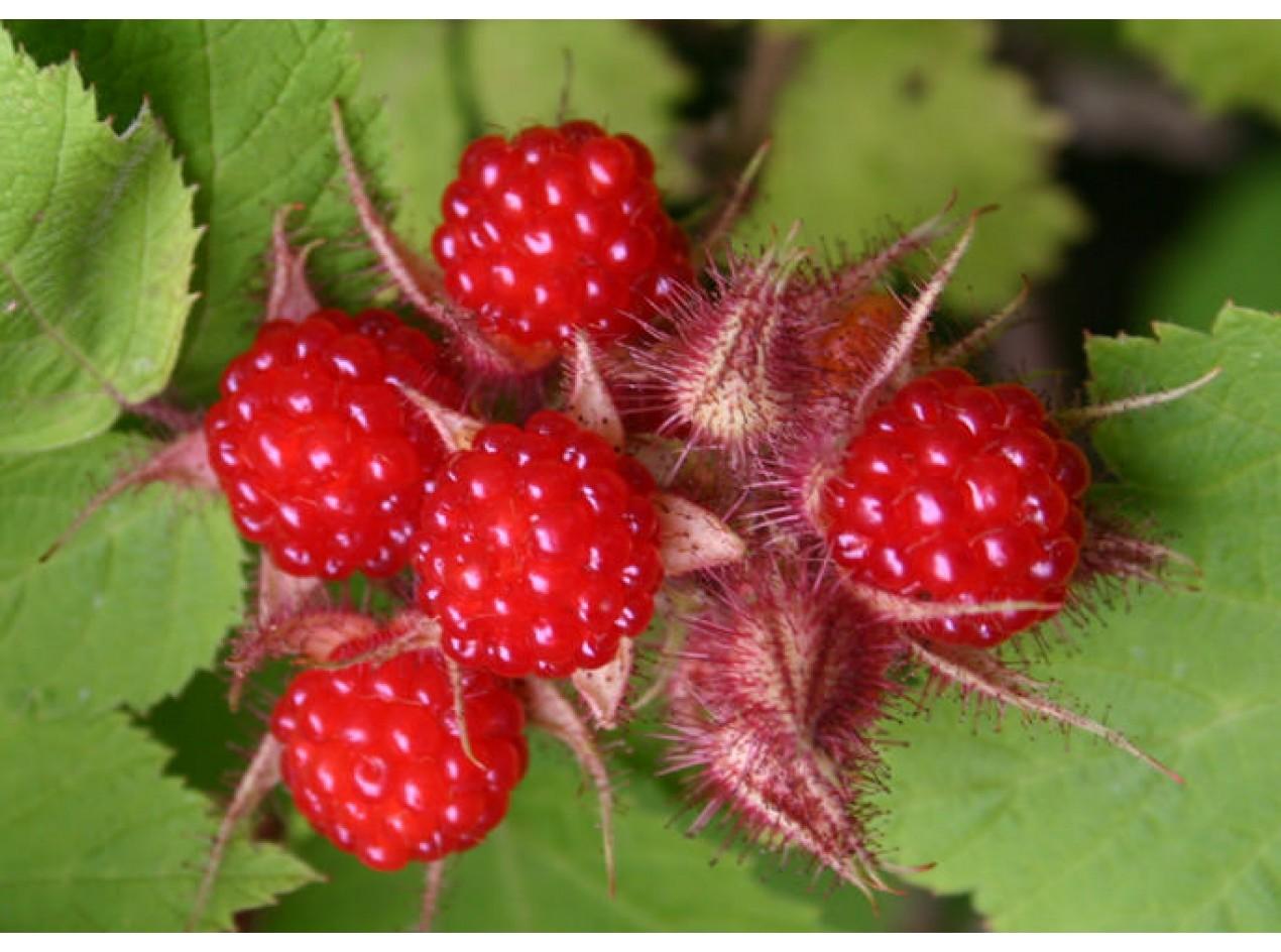 Wine Raspberry