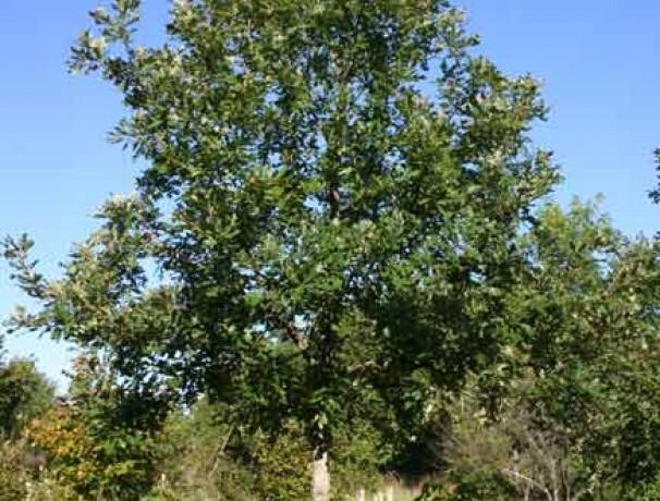 Nutty Bur Oak