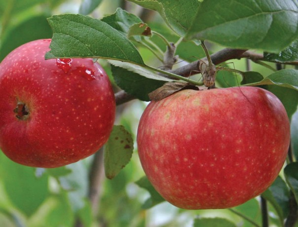 'Ecos Red' Apple
