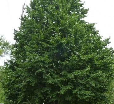 Turkish Tree Hazel