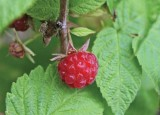 Northern Red Raspberry