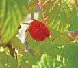 Northern Red Raspberry