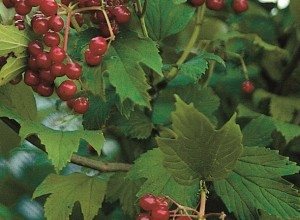 Phillips American Cranberrybush