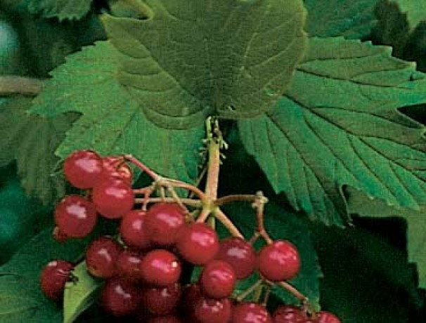 Phillips American Cranberrybush