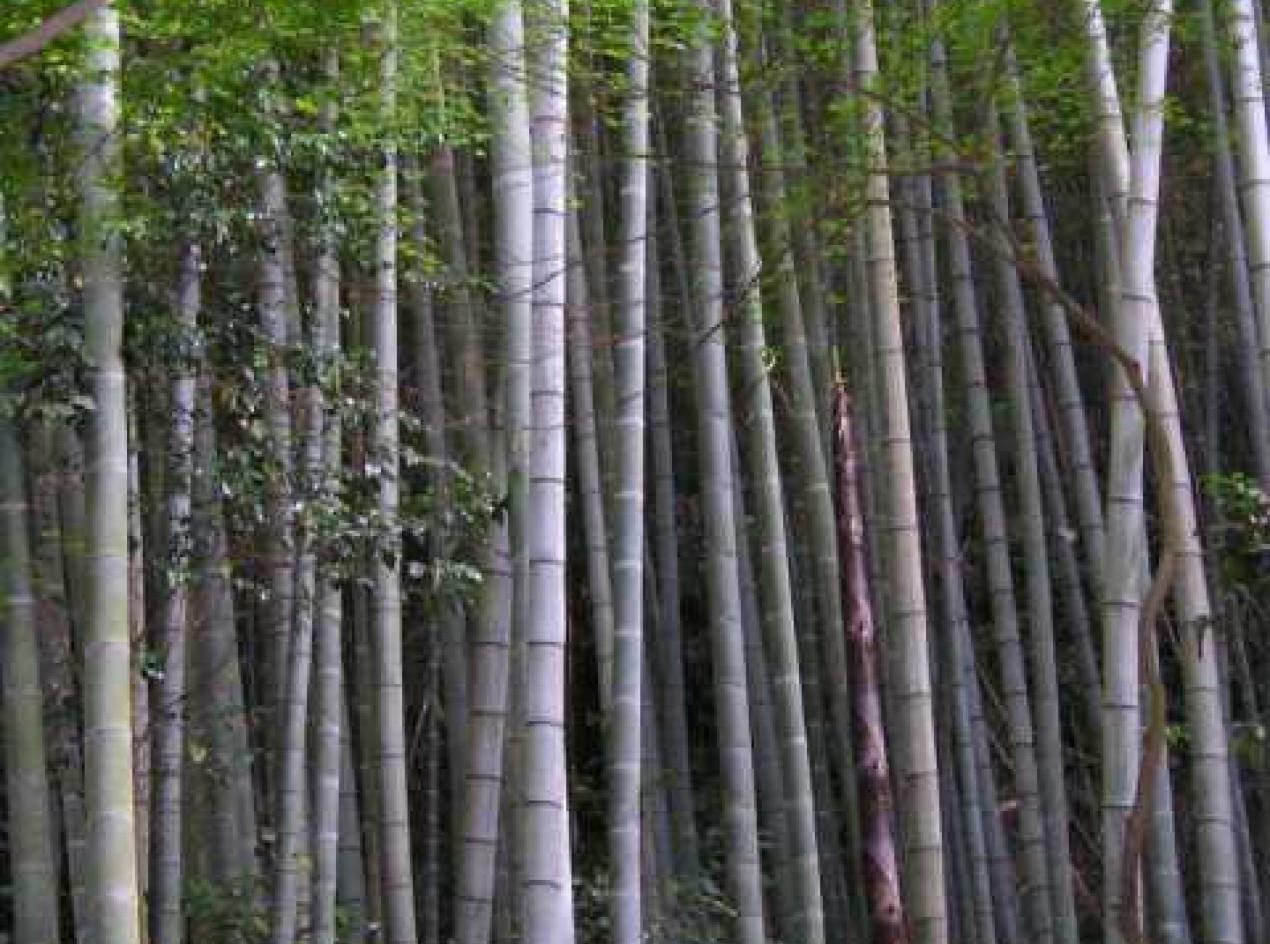 Edible Bamboo