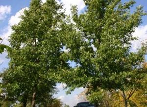 Chestnutleaf Oak