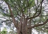 Himalayan Deodar Cedar
