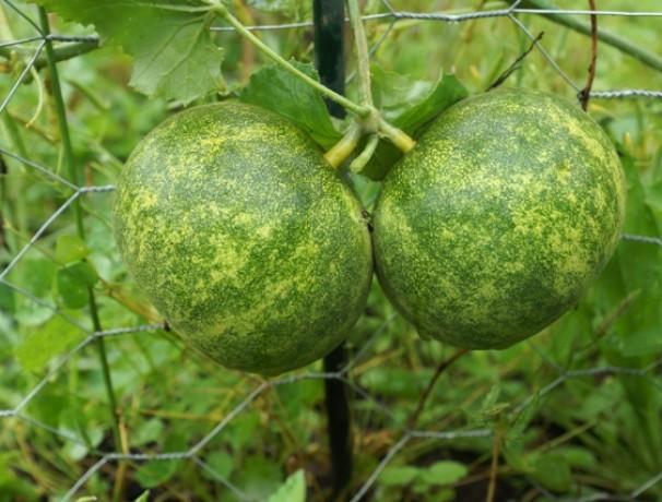 Dosakai Cucumber