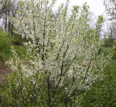 Americana Dunbars Plum Seeds