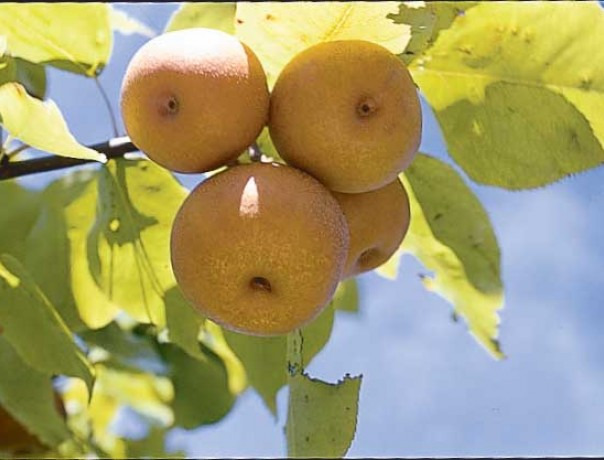ECOS Pear Seeds