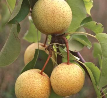 ECOS Pear