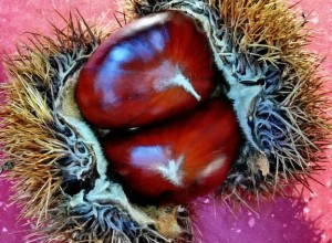 European Chestnut