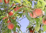 Iowa White Peach