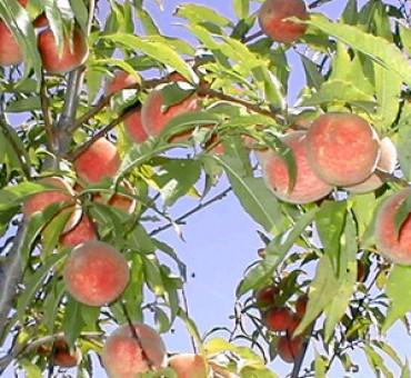 Iowa White Peach
