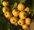 Moonrise Pear Seeds
