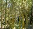 Chinese Timber Bamboo