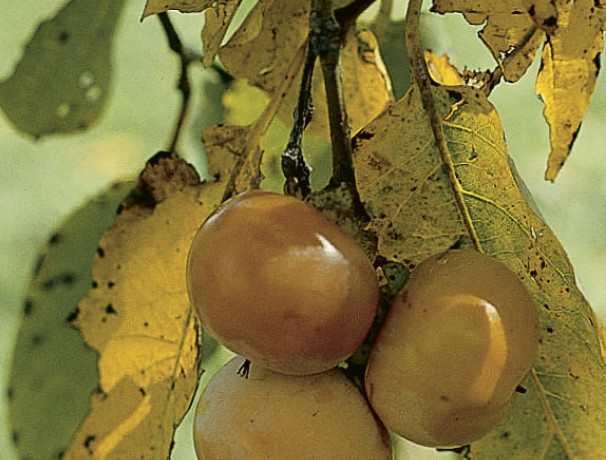 American Persimmon-Pipher
