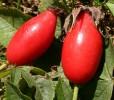 Wild Thang Rose Seeds
