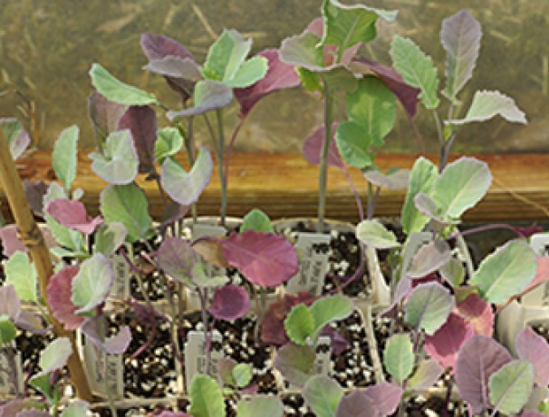 Purple Tree Collards