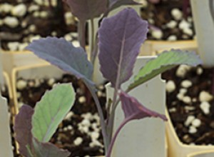 Purple Tree Collards