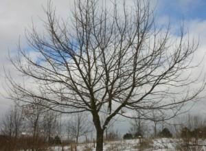 Sargent Oak